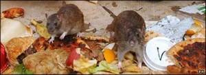 Rat Control - Rats rummaging through garbage
