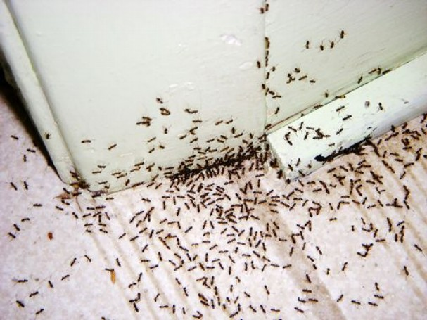 Black Ants With Wings In Kitchen