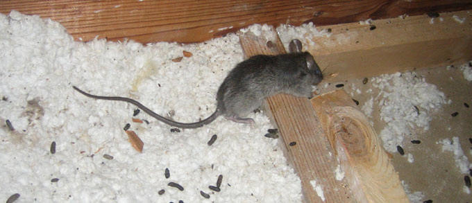 Rat Control Dublin Rat Removal Amp Mice Control