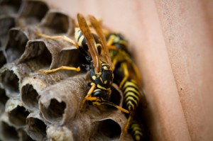 wasp nest removal Dublin