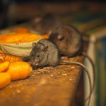 Rat control - Rats and Mice feeding on left over food