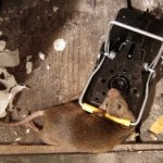 rat control - snap trap