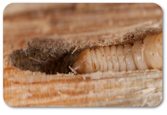woodworm-larvae